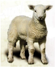 lamb white background